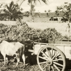 Two long-horned cattle are yoked together to an empty cart, ready to be loaded with newly harvested sugar cane. Jamaica, circa 1905