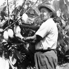 A Grenadian farmer uses a machete to slice a ripe cacao pod from a tree on a cocoa plantation. Grenada, 1965